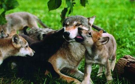 狼在自然界里本身并不是最厉害的动物